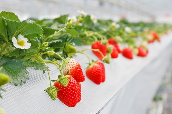山田みつばち農園摘み採りイチゴ